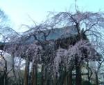芝・増上寺の枝垂桜
